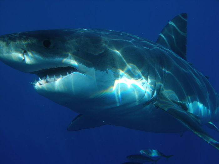 백상아리 a great white shark
