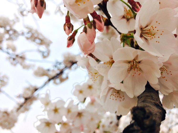 CHERRY BLOSSOM, Spring, さくら, はる, 벚꽃, 봄, 여의도, 윤중로