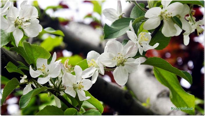 사과나무꽃