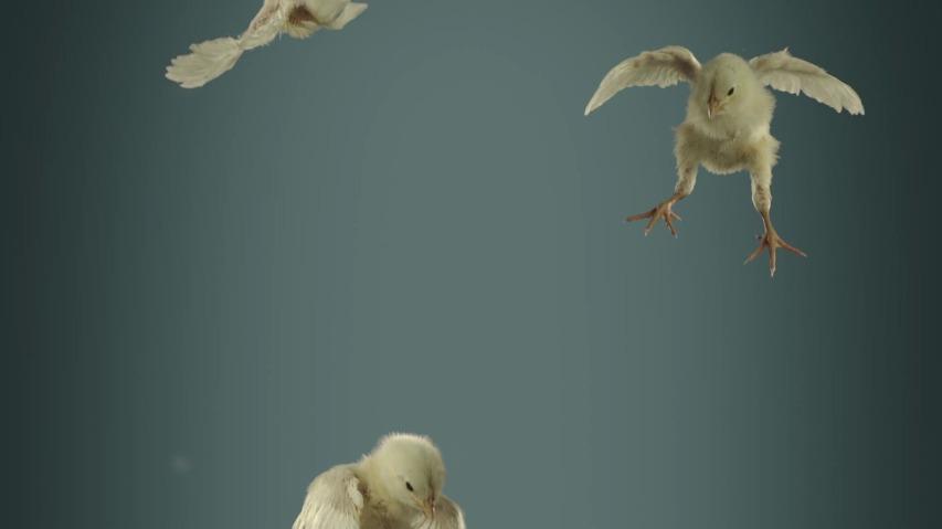 동물의 윤리적 대우를 위하는 사람들(PETA - People for the Ethical Treatment of Animals)의 부활절 TV광고, '날으는 병아리(Flying Chicks)'편 [한글자막]