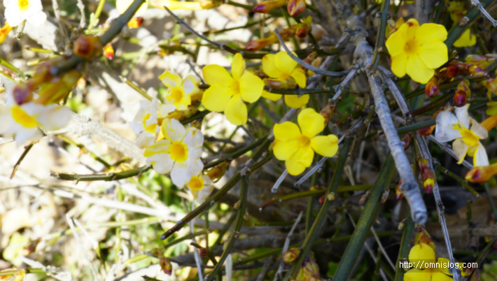 영춘화(迎春花, Jasminum nudiflorum)
