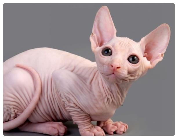 털없는 스핑크스 고양이 : 네이버 블로그