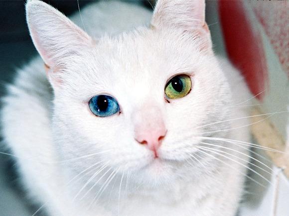 Odd eyes Cat