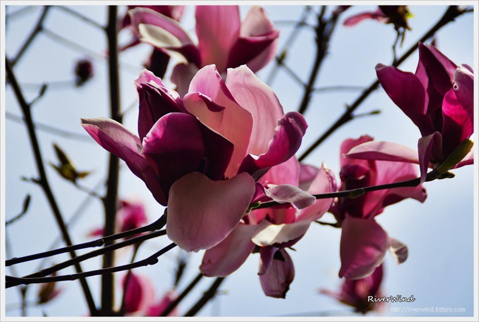 자목련 紫木蓮  Magnolia liliflora DESR