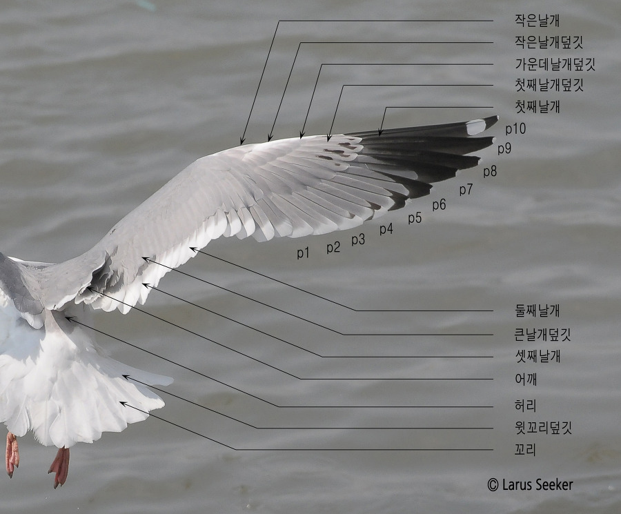 Wing Topography of Gull