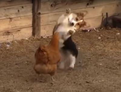 코기 vs 닭
