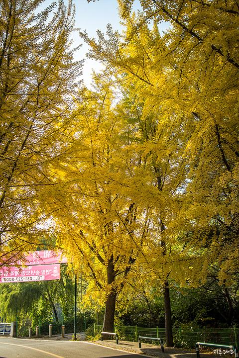 서호공원 앞 도로 단풍