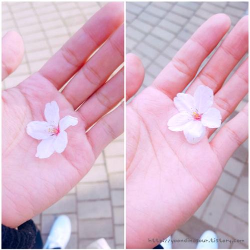 벚꽃 한송이