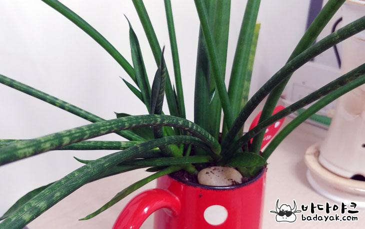공기 정화 식물 스투키 잎마름병