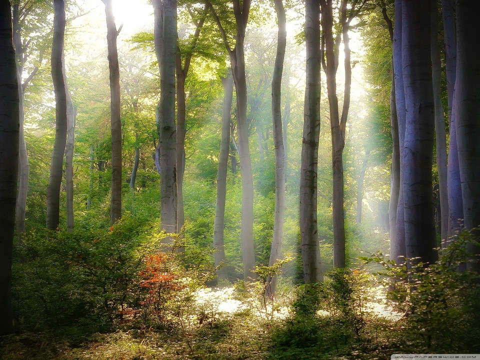 Forest Light wallpaper