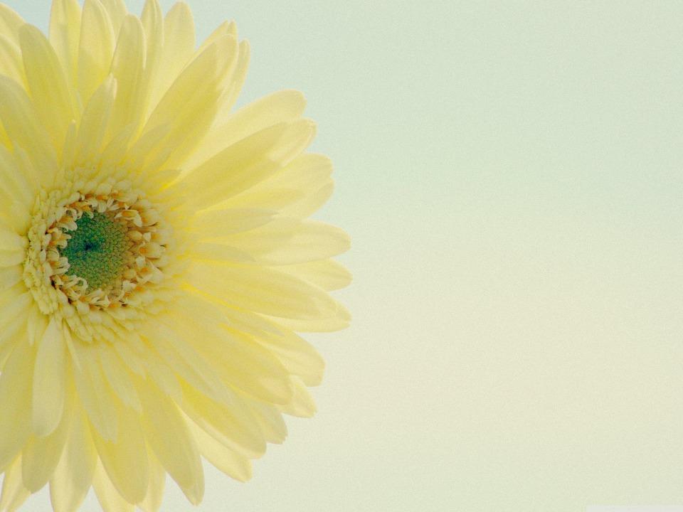 Yellow Gerbera Daisy Low Contrast HD Wallpaper
