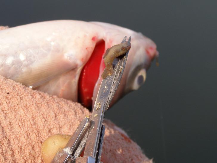 붕어 아가미흡충 아가미 거머리