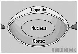 수정체 핵과 수정체 피질