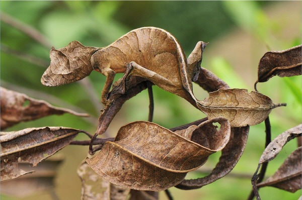 Camouflaged-Satanic Leaf-tailed Gecko