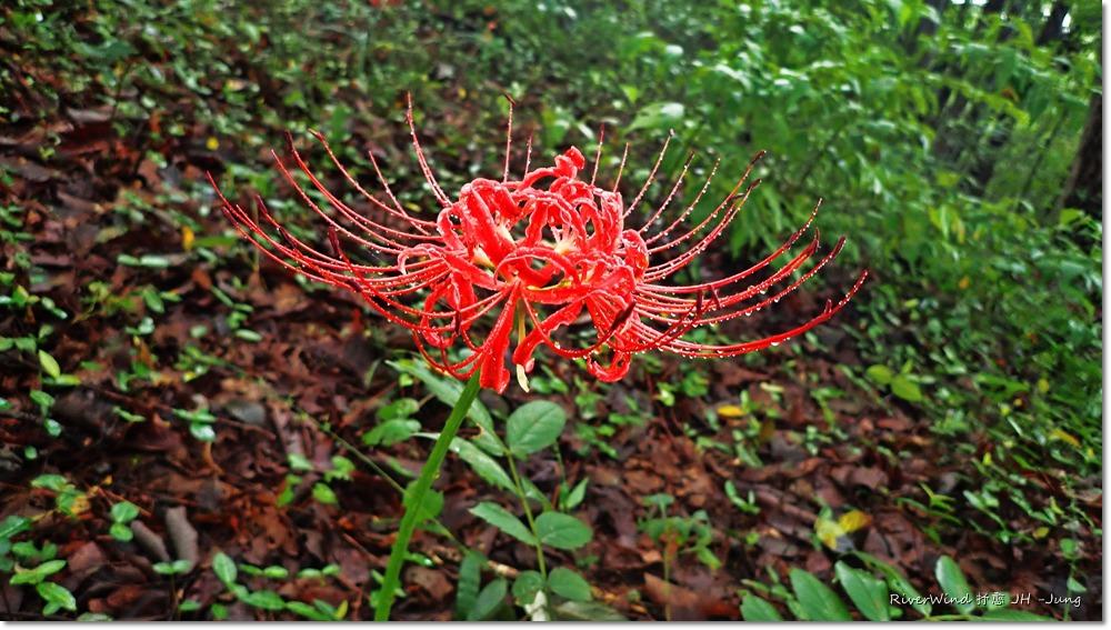 상사화(꽃무룻,석산)사진전