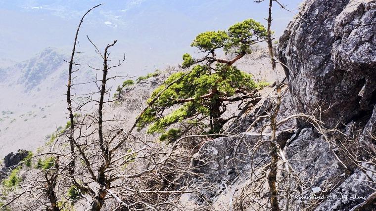가야산 정상 소나무