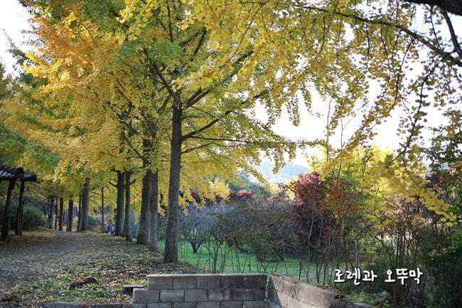 전라도 남평 은행나무길(11월초) 나주의 명소19