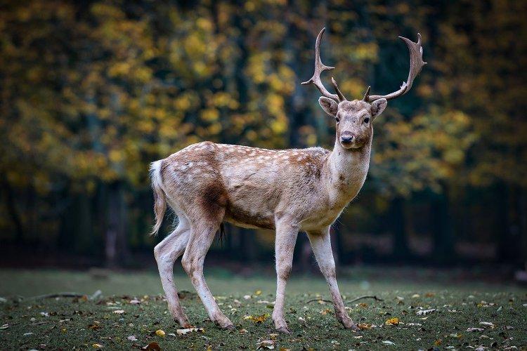 성경동물 사슴