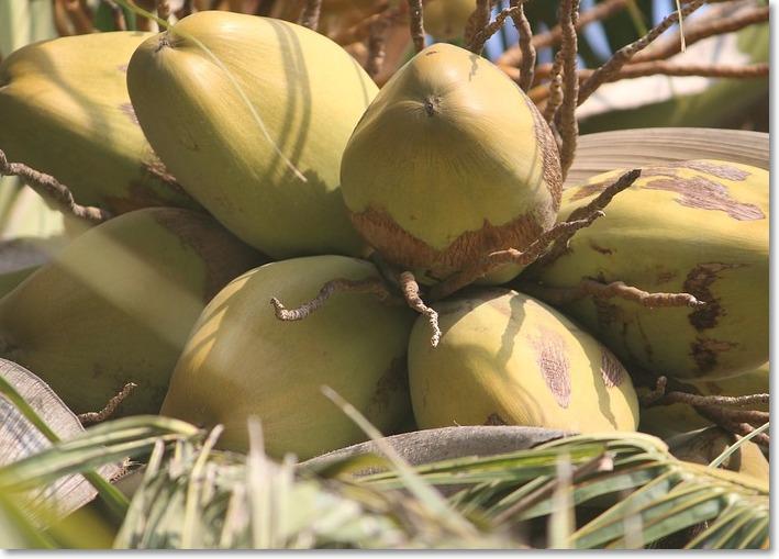 코코넛오일 효능