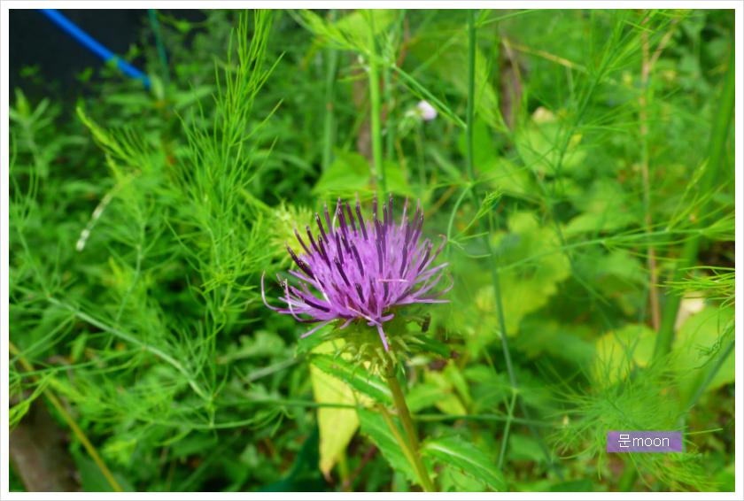 (정원) 곤드레나물꽃 - 고려엉겅퀴