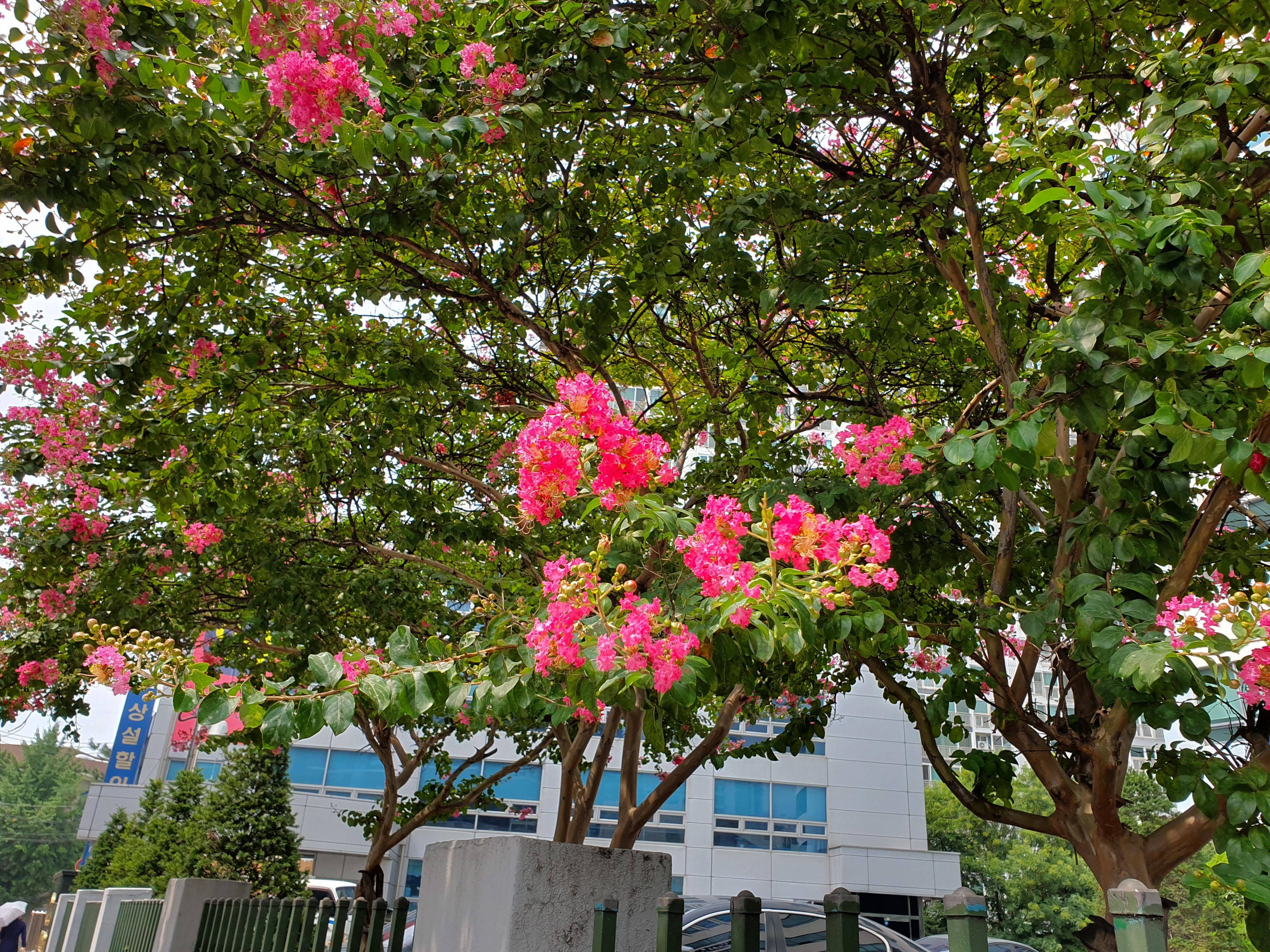 여름하고 잘 어울리는, 배롱나무 분홍꽃