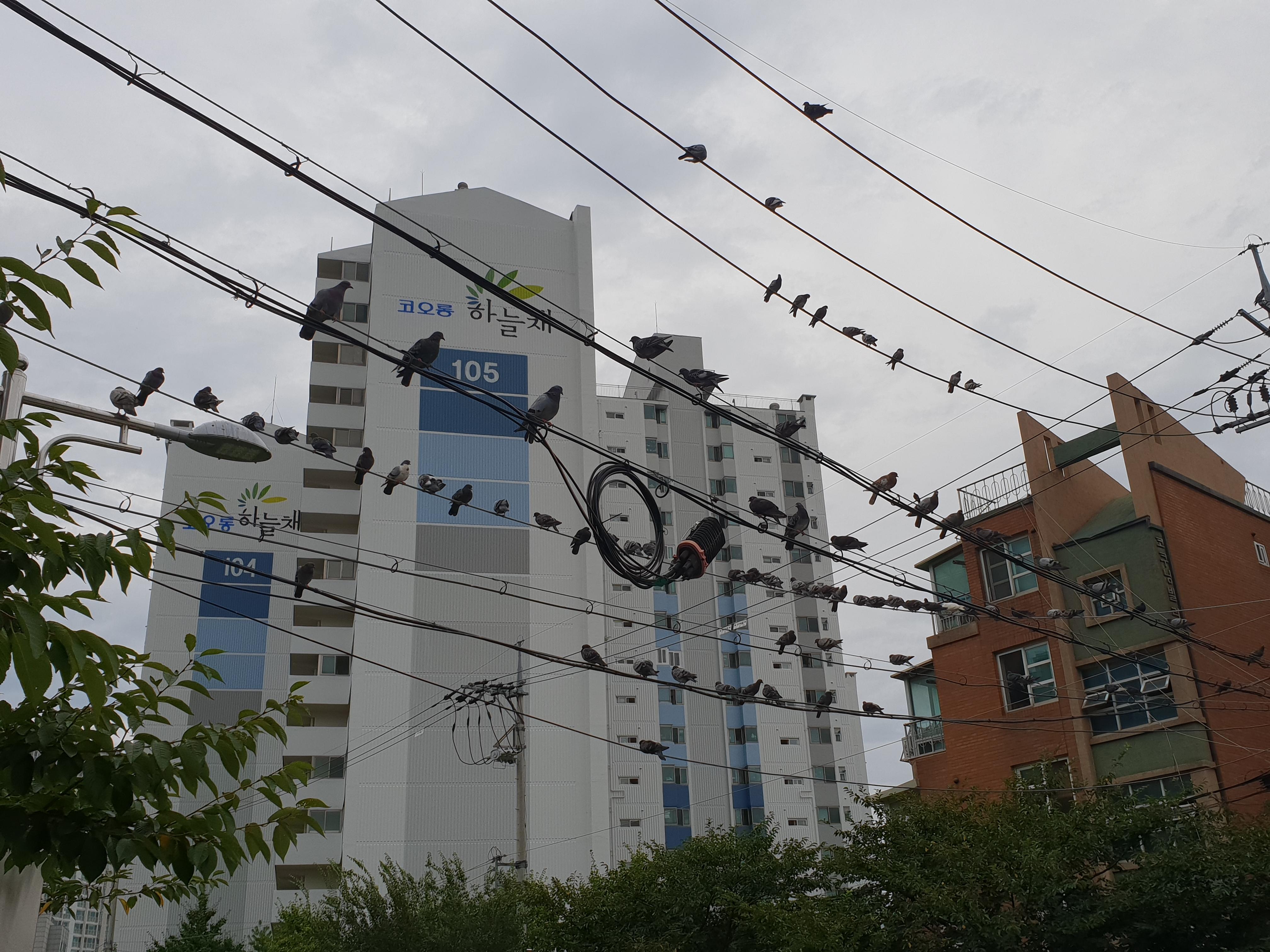 [일상 풍경] 비둘기 악보 - 너무 혐오하지 마세요~, 귀여운 비둘기, 그냥 싫은 비둘기, 더러운 비둘기, 도시화, 만물의 영장, 무서운 비둘기, 비둘기, 비둘기 귀여워, 비둘기 극혐, 비둘기 극혐 이유, 비둘기 너무 싫어, 비둘기 악보, 비둘기 토, 비둘기 혐오, 비둘기 혐오 이유, 새들이 만들어낸 악보, 일반, 재수없는 비둘기, 전기줄 비둘기, 전기줄 오선지, 토사물 비둘기