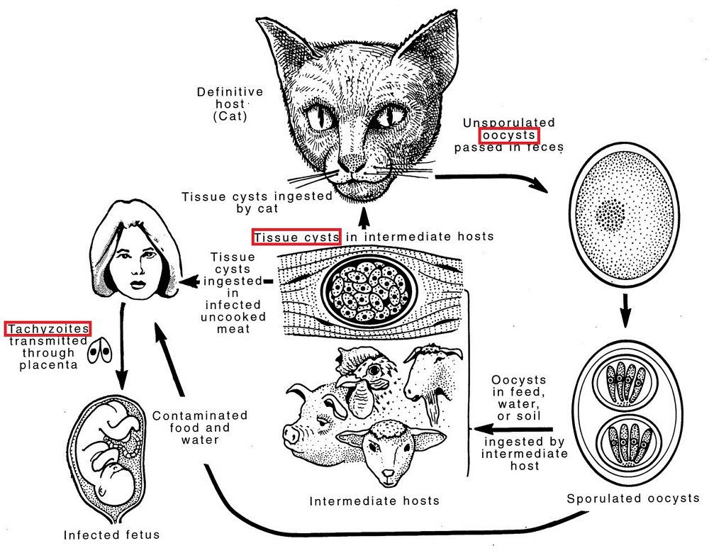 Toxoplasma gondii의 Life cycle