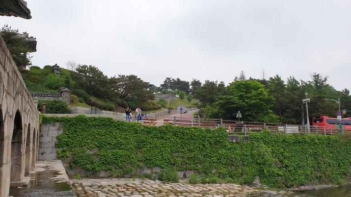 수원천 벽면을 뒤덮은 담쟁이덩굴 식물