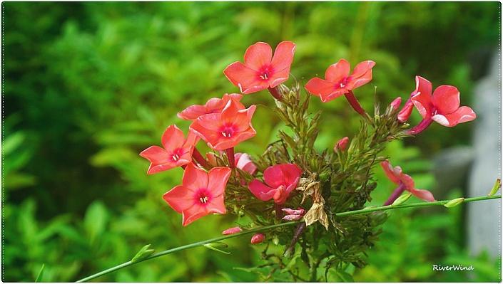 풀협죽도 Phlox paniculata