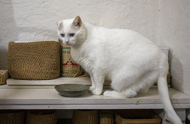 식탁 위에 앉은 하얀 고양이