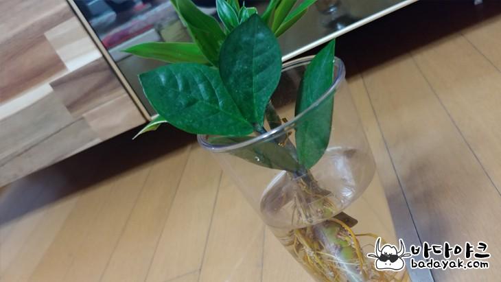 돈나무 삽목