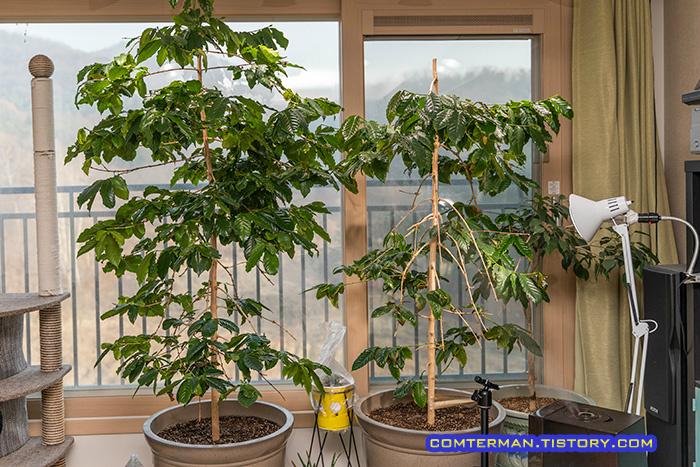 거실 커피나무