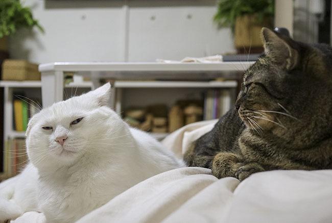오버쟁이 하얀 고양이