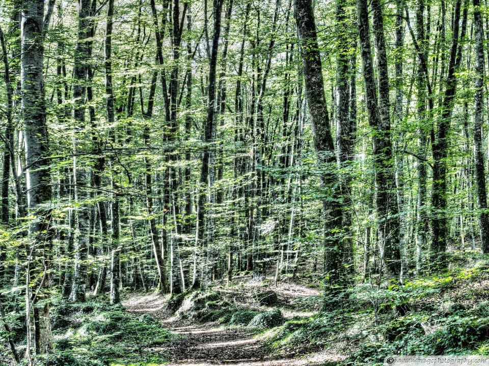 Light Between Trees Jordans Beech Wood wallpaper