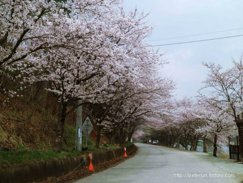 청룡사 가는 길 벚꽃 길
