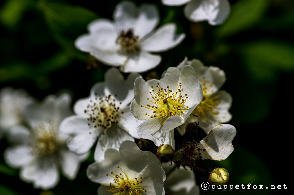 0604-찔레꽃-1