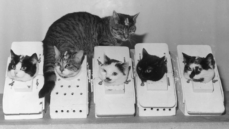 사진: 펠리세트가 프랑스 우주동물비행에 선발되었지만, 고양이 입장에서는 최악의 상황인 것이다. [베로니크 호 - 펠리세트 (고양이)]