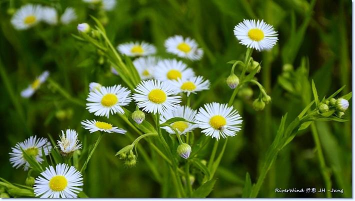 개망초 꽃