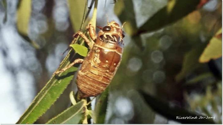 매미애벌레