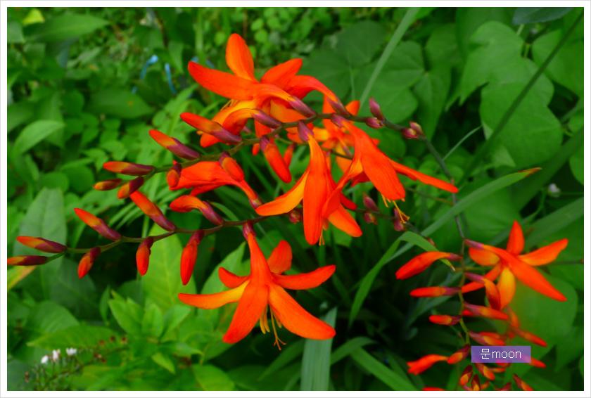 (정원) 애기범부채꽃 - 몬트브레치아, 크로커스미아