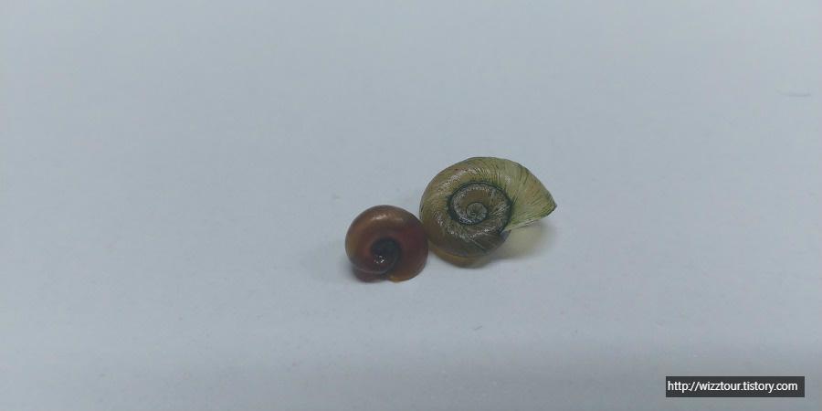 Red Ramshorn snail