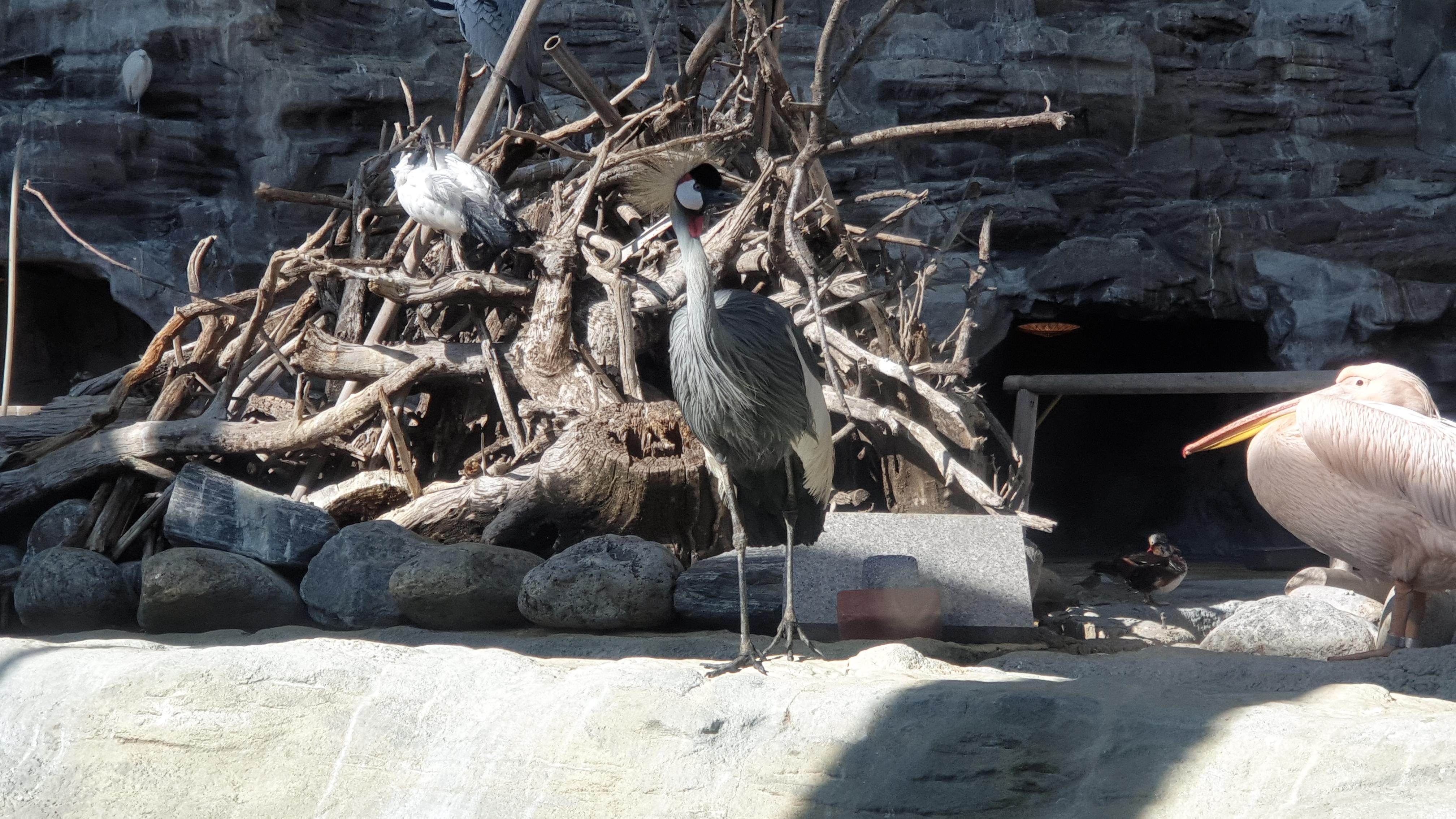 crowned crane, 광대 두루미, 두루미 머리, 두루미 머리의 실체, 봄바람, 어린이대공원, 어린이대공원 관머리 두루미, 어린이대공원 두루미, 어린이대공원 물새관, 어린이대공원 새, 어린이대공원 왕관두루미, 어린이대공원 원앙, 어린이대공원 펠리칸, 어린이대공원 학, 어린이대공원에 놀러갔습니다. #물새관 - 생각보다 재밌었음., 원앙, 원앙 수영, 원앙 헤엄, 조류, 조류 뼈, 환공포증
