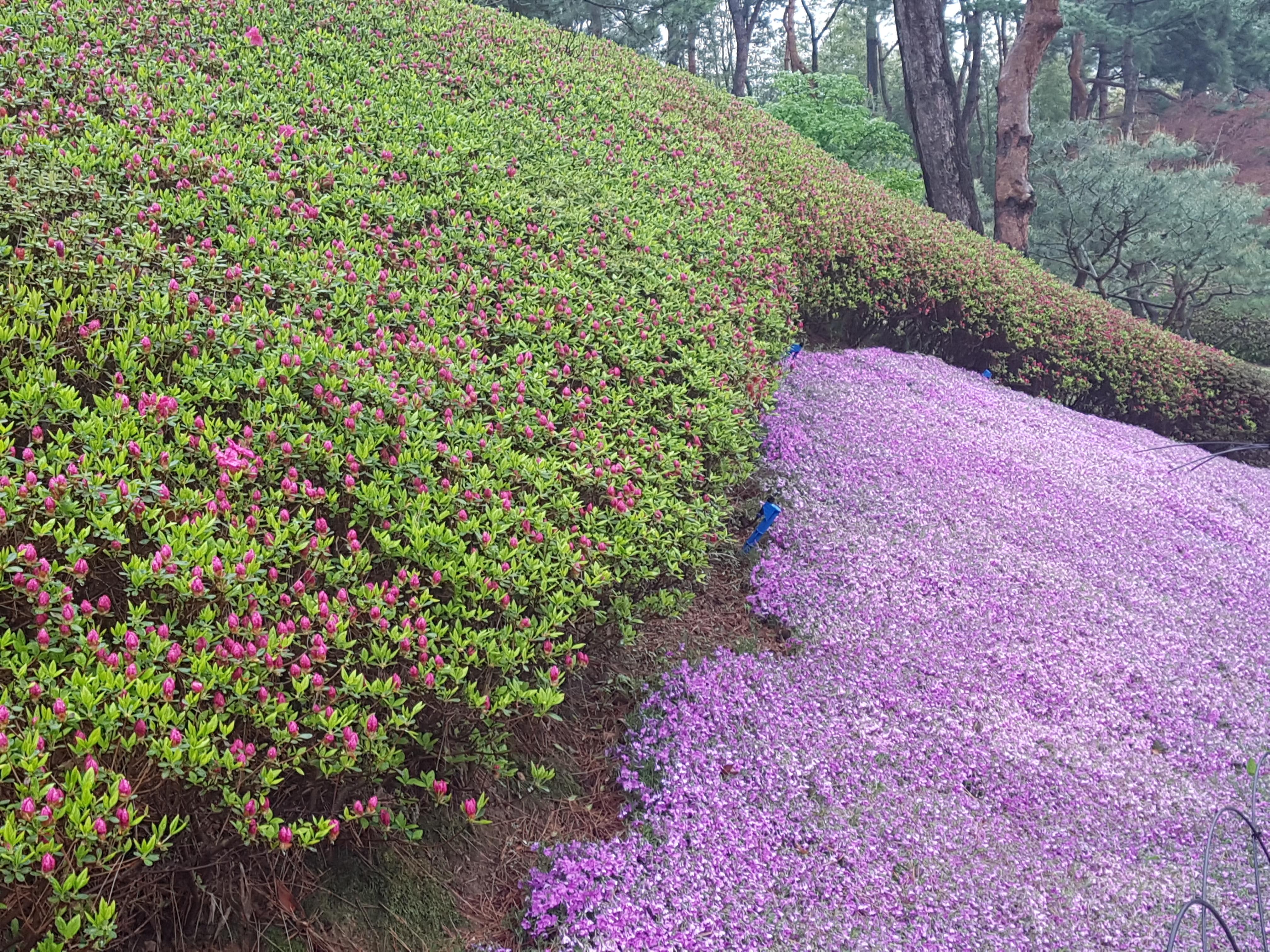 #청남대 #봄꽃축제  영춘제 4월21~5월13일