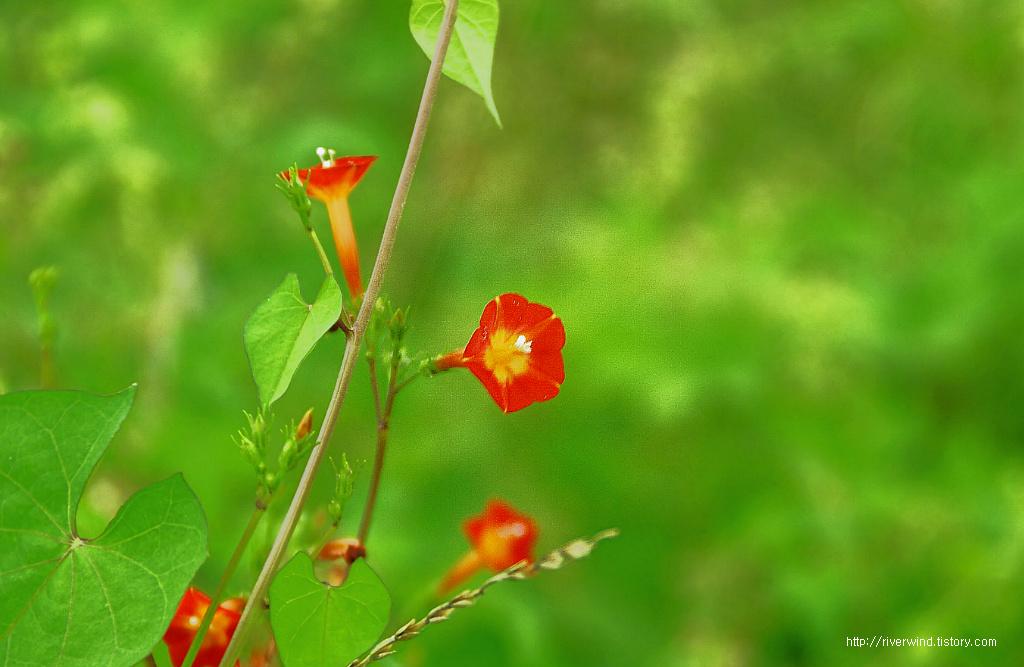 작은 나팔꽃 둥근잎유홍초