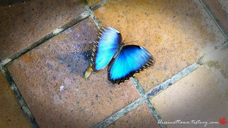 모르포 나비입니다