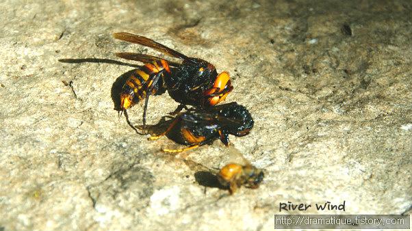 대추벌 말벌 꿀벌 크기비교