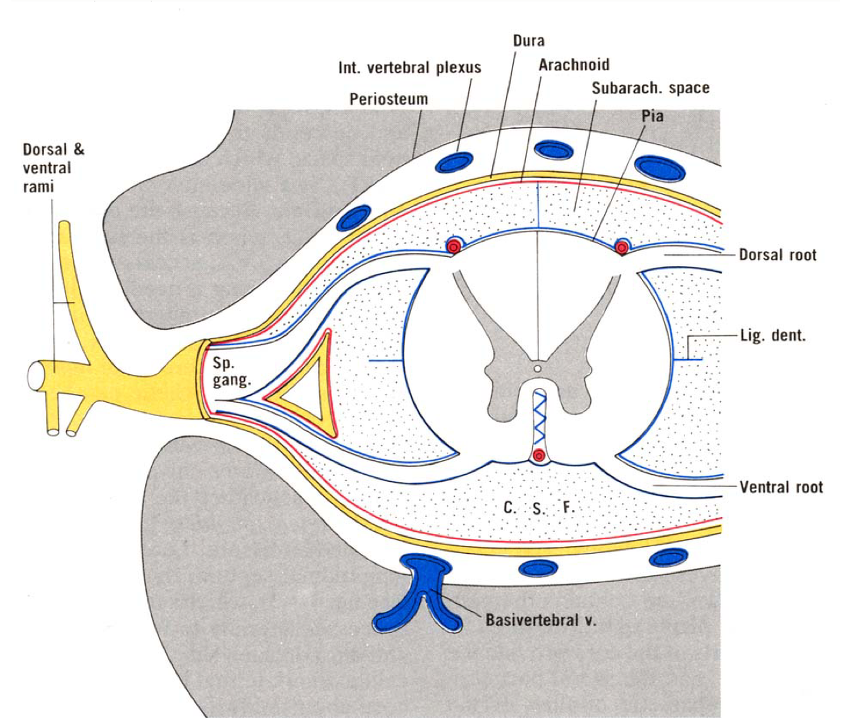 Spine Anatomy 1 Dura Arachnoid Pia Mater Denticulate Ligament Can be considered as a cause of tethered cord 4 or may be considered a rare (<0.5%) anatomical variant … pia mater denticulate ligament