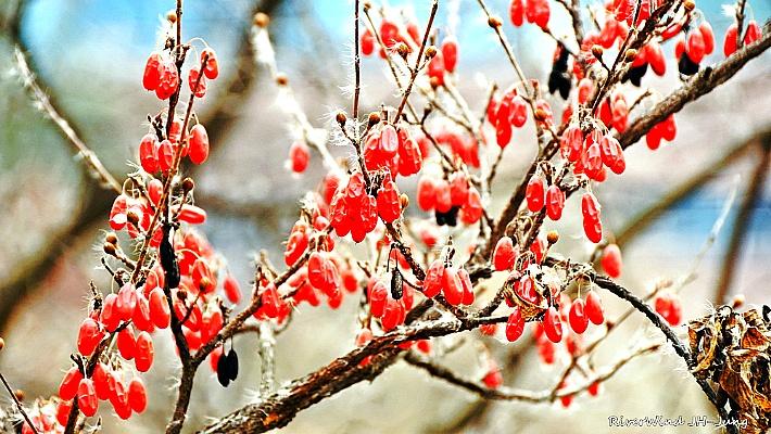 산수유 열매