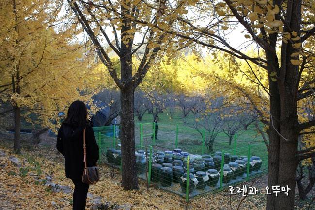 전라도 남평 은행나무길(11월초) 나주의 명소15
