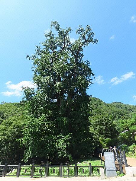 천연기념물 제30호 용문사 은행나무, 보물 제531호 양평 용문사 정지국사탑 및 비